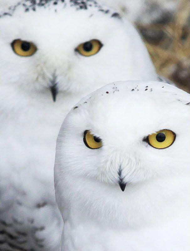 Белые совы животные 2 длявас ru