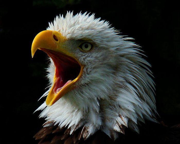 Картинка веселый орел